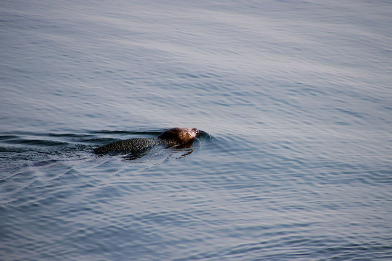 Seal swimming in sea