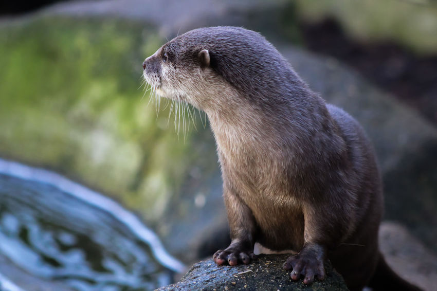Animal Themes Animal Wildlife Animals In The Wild Close-up Day Focus On Foreground Mammal Nature No People One Animal Outdoors Rock - Object Short Clawed Otters