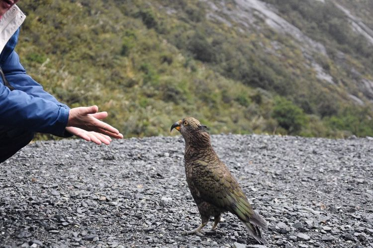 Nature meets humans Feel The Journey Kea Traveling Parrot