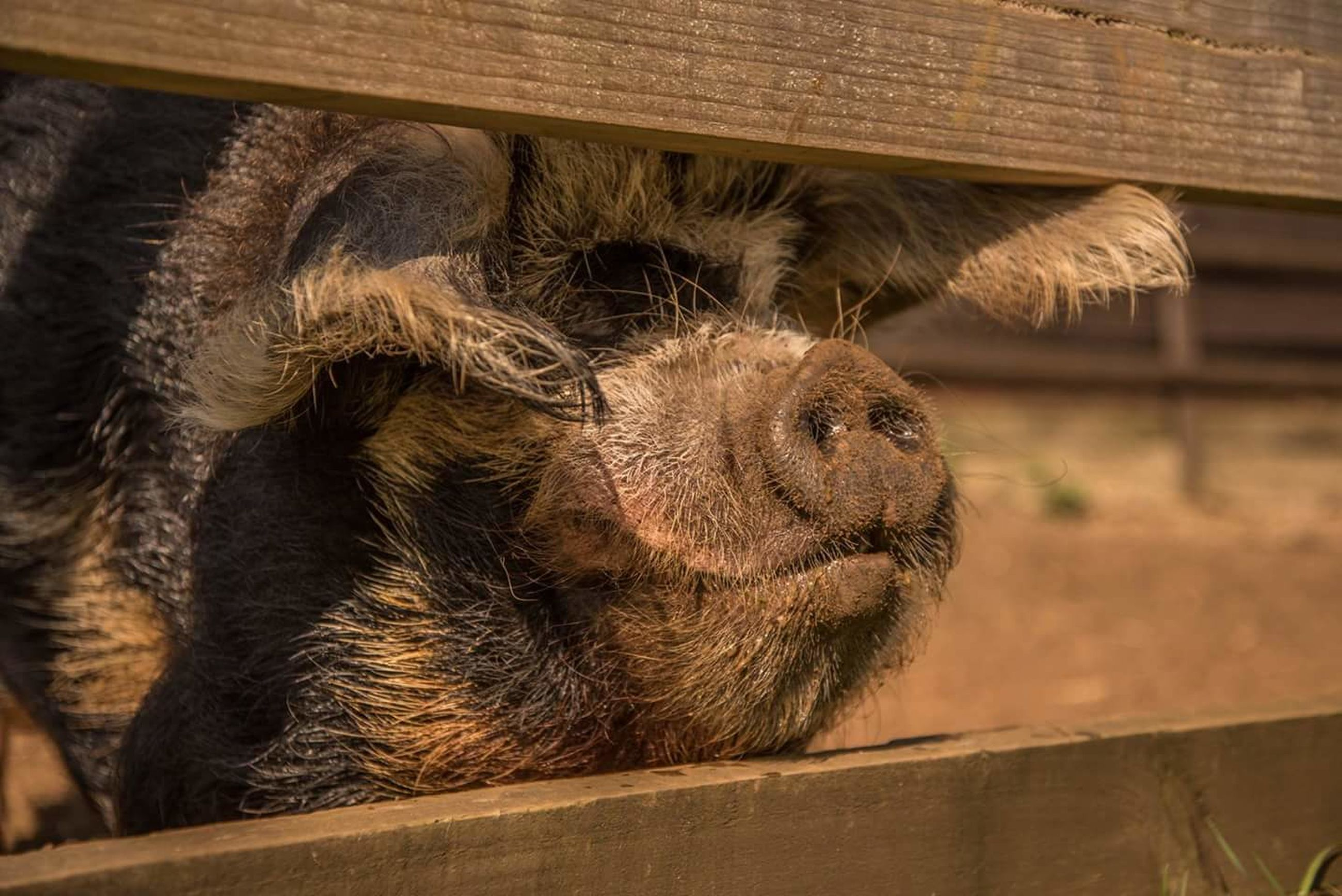 mammal, animal themes, animal, one animal, no people, vertebrate, animal wildlife, close-up, day, relaxation, animals in the wild, animal body part, pets, domestic animals, wood - material, focus on foreground, domestic, outdoors, fence, boundary, animal head, herbivorous