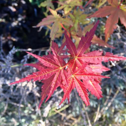 Leaf Autumn Change Nature Beauty In Nature Maple Leaf Day Red Close-up Growth Outdoors Focus On Foreground Maple No People Fragility Branch Tree Autumn Colors Autumn Colours Japenese Acer Acer Red Autumn Leaves