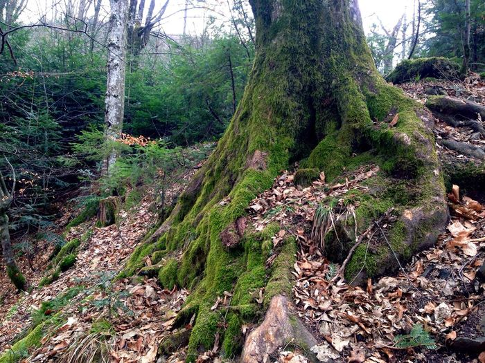 Karpaty Tree Trees Tree Карпаты Carpathians Carpathian Mountains