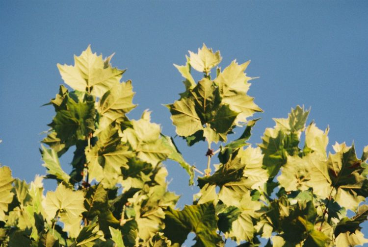 Low angle view of yellow plants against clear blue sky