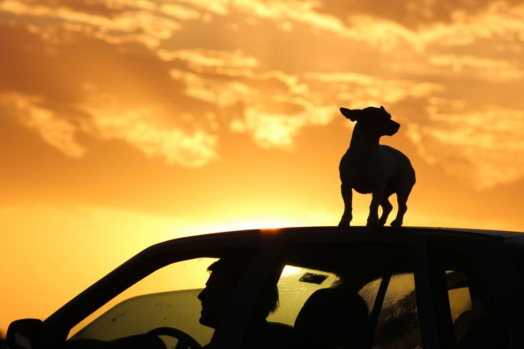 Silhouette dog standing on car roof against sky during sunset