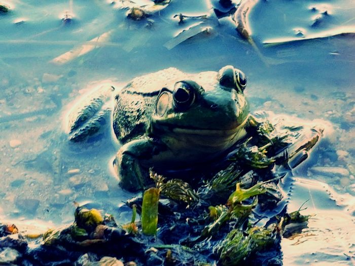 Froggy Frogs,chilling Froggy!!! Frogs Of Eyeem Froglife Frogs. Nature Frog Frogs