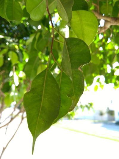 Leaf Nature Tree Green Color Leafs 🍃 Leaf 🍂 Nature Photography No People Beauty Defocused Beauty In Nature Morningpicture Picoftheday Love To Take Photos ❤ PracticeMakesPerfect Outdoors Freshness Nature_collection Beauty In Nature Beautiful Cellphone Photography