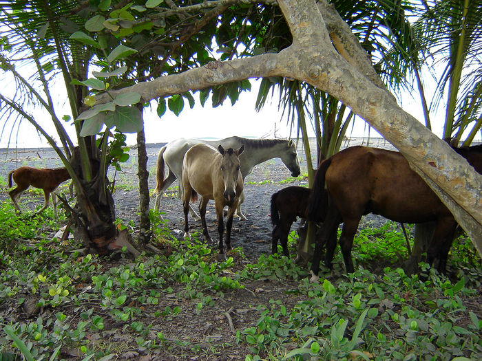 wild horses Animals In The Wild Costa Rica Wild Horse Wildlife & Nature Animal Animal Family Animal Themes Animal Wildlife Animals Beach Day Domestic Domestic Animals Group Of Animals Horse Land Livestock Mammal Nature No People Outdoors Tree Vertebrate Wild Horse On The Beach Young Animal