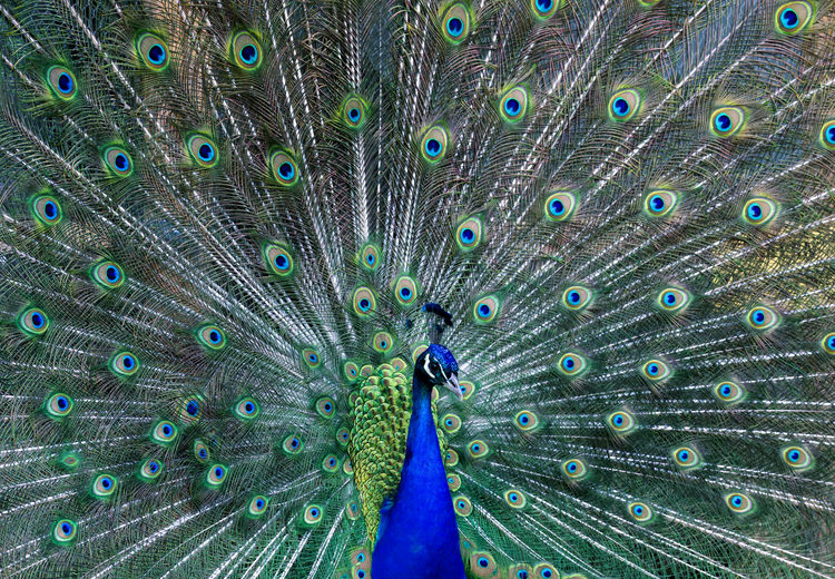Peacock Bird Animal Themes Feather  Animal Peacock Feather Animals In The Wild Fanned Out Vertebrate Animal Wildlife One Animal No People Day Blue Close-up Green Color Nature Multi Colored Beauty In Nature Outdoors