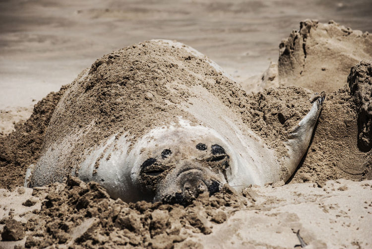 Close-up of elephant seal