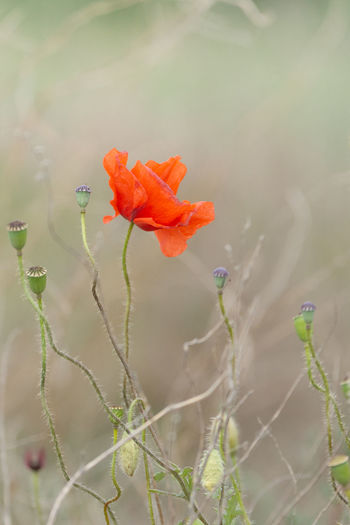 Close-up of orange poppy on plant