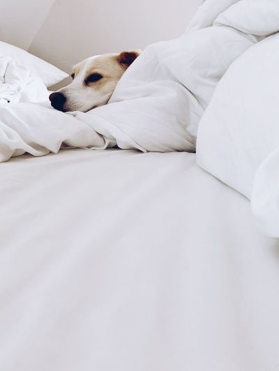 dog in bed Safety Home Relaxing Furniture Bed Relaxation Canine Dog Pets One Animal Animal Indoors  No People Pillow Bedroom White Color