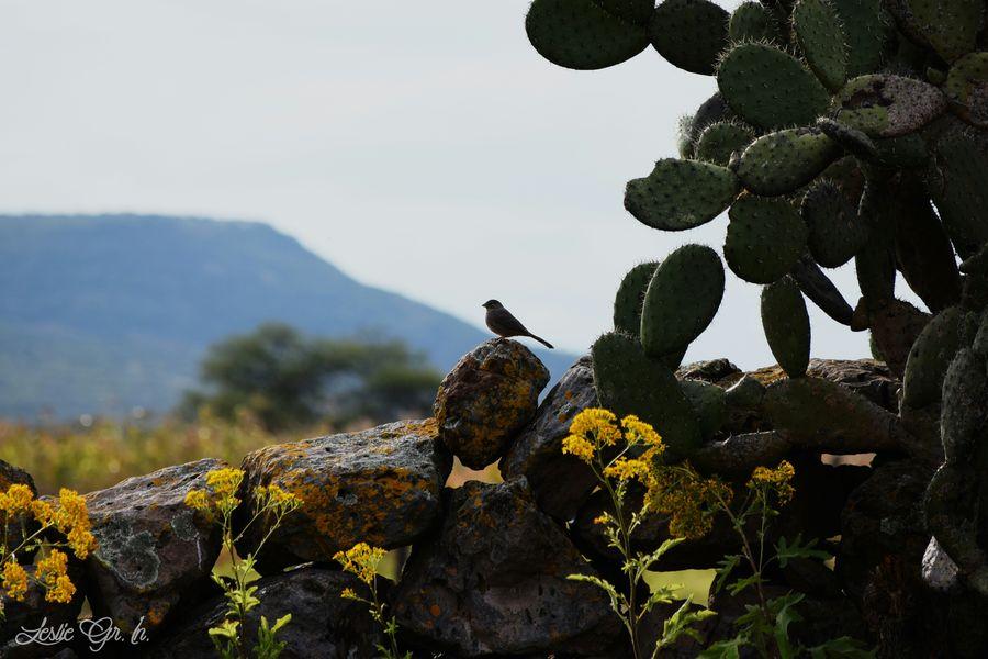 Animals Leslie_Gr_In Cactus Pajaros Nopales Aves Nature Naturaleza Animales Birds