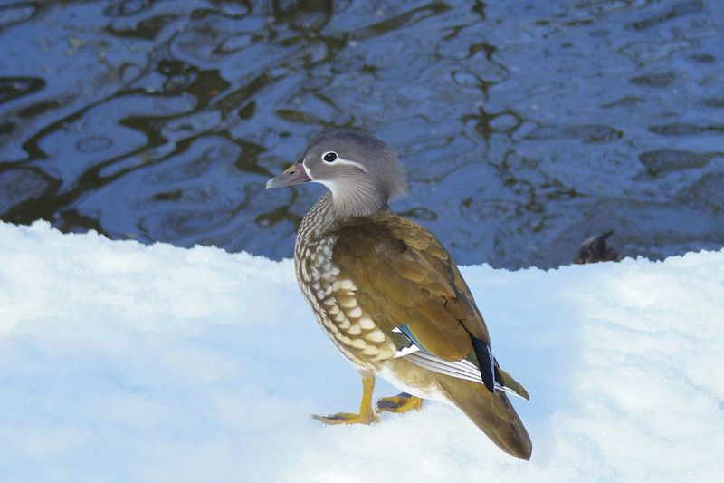 Bird One Animal Animals In The Wild Animal Themes Animal Wildlife Water Nature Lake Outdoors No People Day Perching Beauty In Nature Mandarin Duck Winter Duck 弘前公園 Park Ducks Mandrin Duck Snow