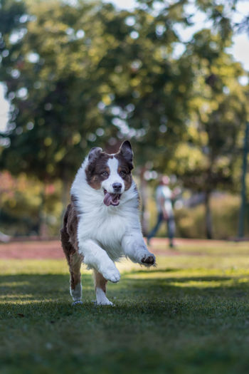 Australian shepherd running on grass at park