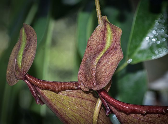 Close-up of red leaves on plant