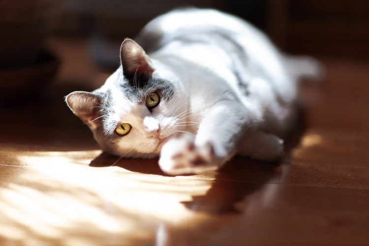 Low angle view of cat stretching in natural light on wooden floor