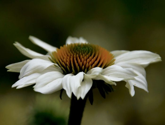 Erinnerungen an den Sommer🌼🌿✨ Flower Flowering Plant Fragility Vulnerability  Petal Inflorescence Humanity Meets Technology White Color Pollen Coneflower No People Beauty In Nature Flower Head Day Plant Focus On Foreground Freshness Close-up Growth Nature