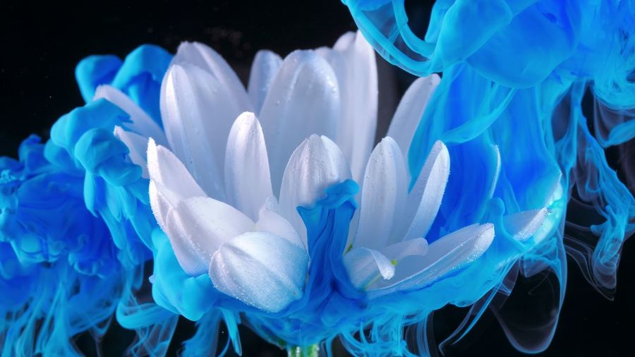 White flower underwater with blue Ink reacting and creating abstract cloud formations. Black Background Blue Close-up Studio Shot Flower Indoors  Nature No People Flowering Plant Petal Beauty In Nature Plant Inflorescence Freshness Fragility Flower Head Vulnerability  Growth