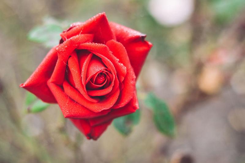 Red Rose Autumn