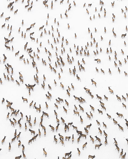 Elk Print Migration Zoology Mammal Aerial Wildlife Elk Aerial View Animals In The Wild Animal Herd Wyoming Nature Winter Landscape Snow Game Birds Eye View DJI X Eyeem Many Crowd Environment Antler Deer Ice Wilderness Camping Stampede