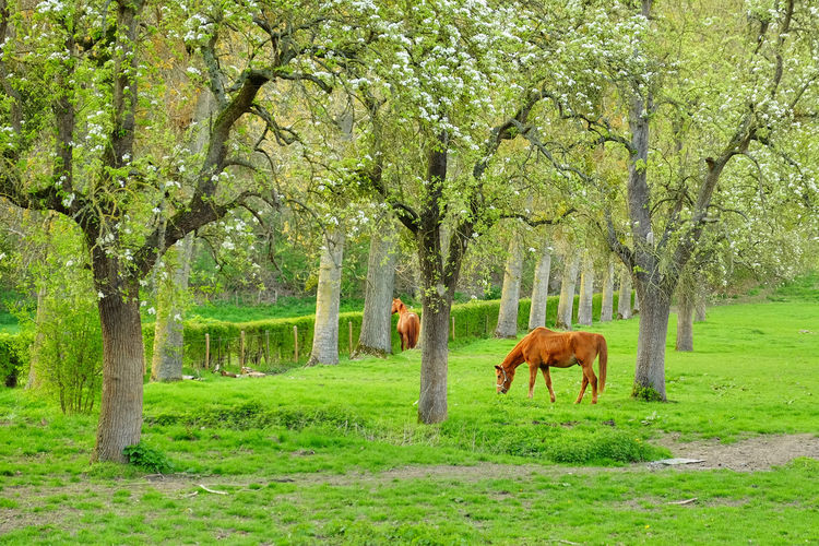 Tree Plant Mammal Animal Themes Domestic Animals Animal Livestock Land Grass Domestic Green Color Horse Field Pets Grazing Nature Agriculture Animal Wildlife Vertebrate Standing No People Herbivorous Outdoors