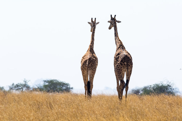 Serengeti Tanzania Back Home ♥ Field Future Vision Walking In The Park Couples❤❤❤ Nature Safari Day Relationship Outdoors Couple Lovers No People Giraffes! Animals In The Wild Animal Themes Animal Wildlife