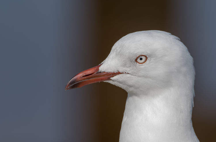 Animal Animal Body Part Animal Eye Animal Head  Animal Themes Animal Wildlife Animals In The Wild Beak Bird Close-up Day Focus On Foreground Gray Indoors  Looking Nature No People One Animal Seagull Silver Gull Vertebrate White Color