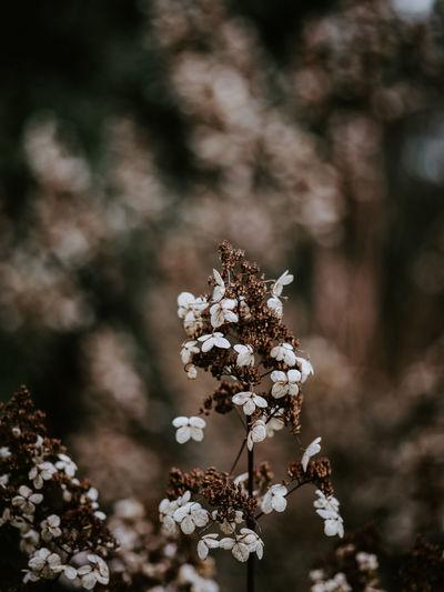 Macro photo of decaying hydrangea Macro Hydrangea