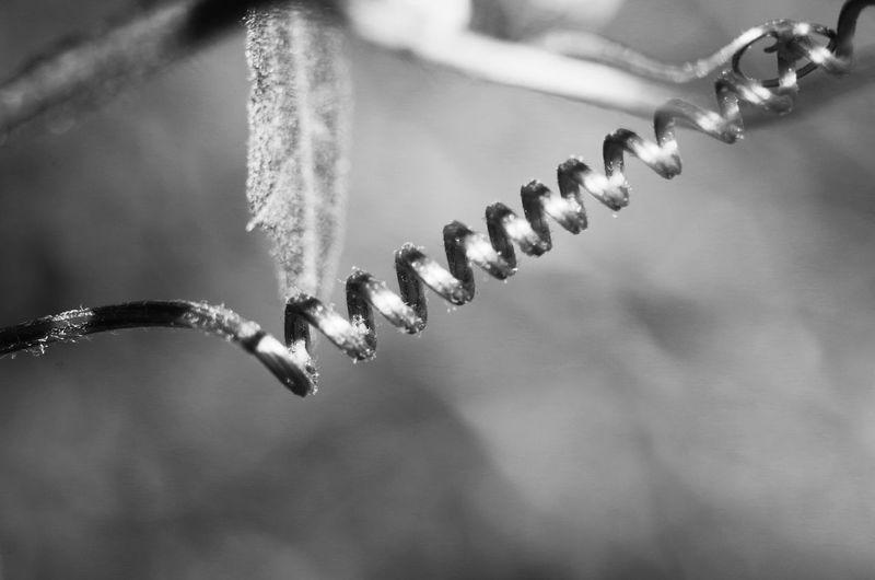 Close-up Of Spiral Vine