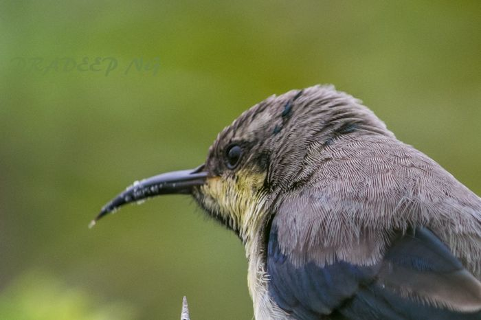 Purple sunbird.. Bird.. Plumage Birds Indian Birds Nature