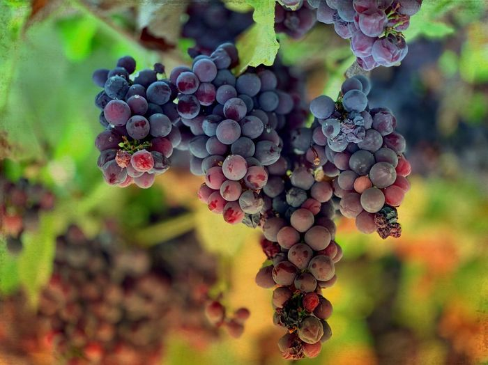 Fruit Healthy Eating Food And Drink Growth Berry Fruit Freshness Food Plant Grape Bunch Close-up Nature Beauty In Nature Vineyard Focus On Foreground No People Tree Wellbeing Plant Part Leaf