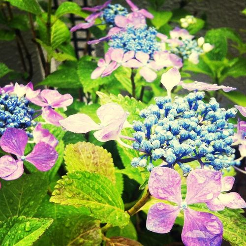 Rainy Day Hydrangea Let It Rain 紫陽花