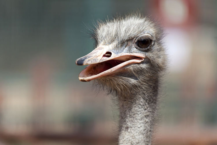 Close-up of ostrich looking away