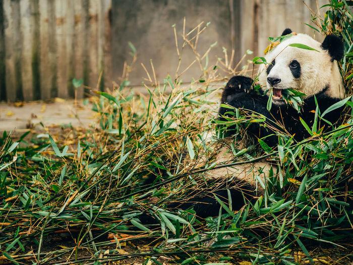 Animal Themes Bamboo Chengdu China Close-up Cute Day Dog Domestic Animals Forest Grass Mammal Nature No People One Animal Outdoors Panda Pets