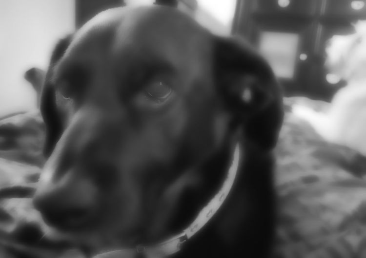 Animal Head  Black Lab Close-up Grateful Dog His Name Is Bugsie One Animal Our Beautiful Rescue Selective Focus