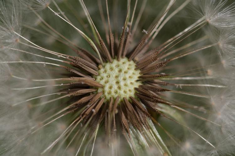 a flower dandelion photographed with macro Close-up Dandelion Detail Diente De León Flower Light Nature Soft Taraxacum