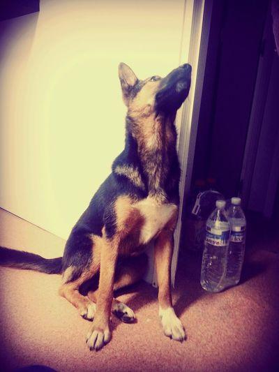 Retrica Cute Pets Pastores Alemanes My Dogs