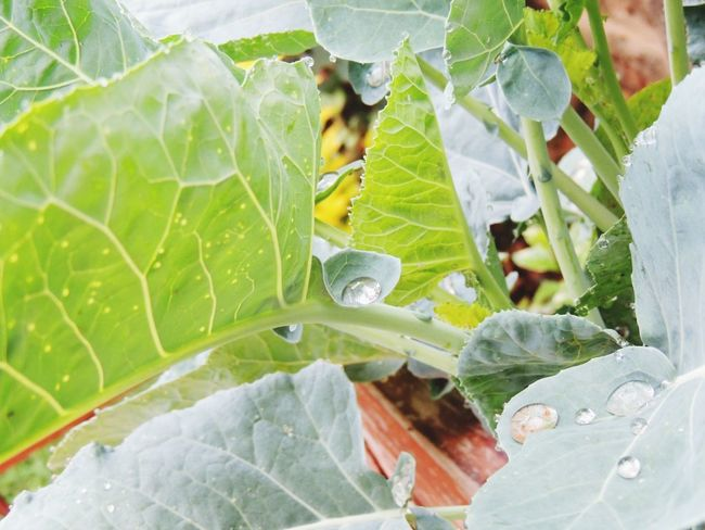 Leaf Dew Drops dew #morning #drops plant nature Dewdrops_Beauty Nature Freshness Green Color Outdoors Plant Beauty Naturephotography NairobiCity Cityscapes Water Gardens And Yards Vegetable Garden Vegetables Photo Vegetables Of EyeEm Veg