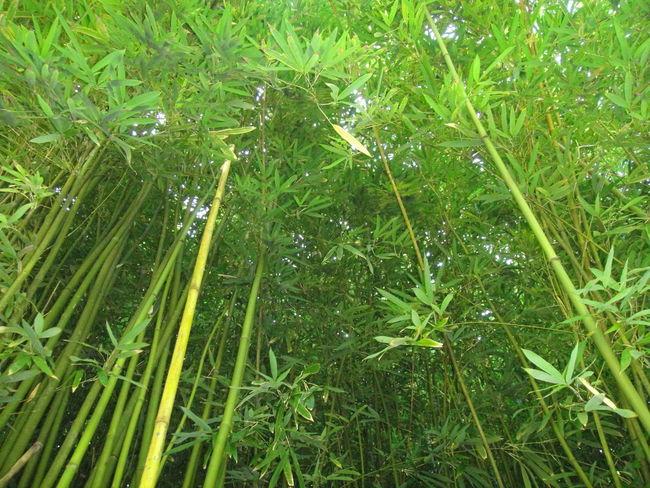 Bamboo Forest - Maui, Hawaii Bamboo Bamboo Forest Maui