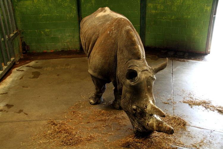Wildlife Nature Mammal Animal Themes One Animal Zoology Close-up Zoo Wildlife & Nature Rhino Rhinoceros Endangered  Endangered Species Endangered Animals