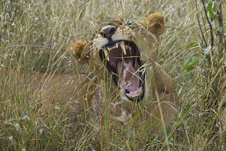 Lioness showing