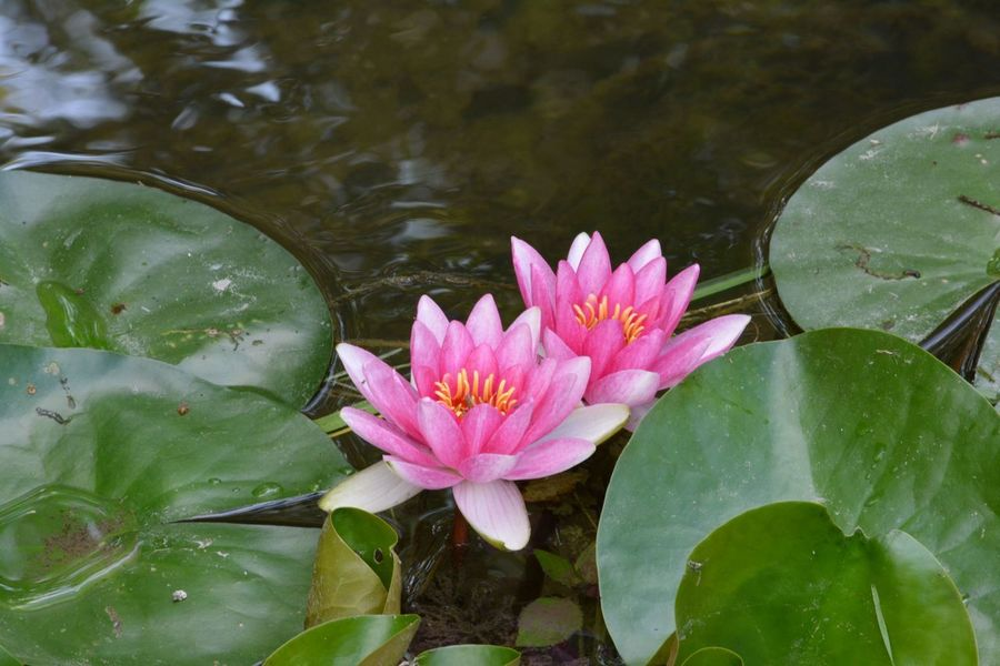 Beauty In Nature Floating Floating On Water Flower Flower Head Flowering Plant Fragility Freshness Growth Lake Leaf Leaves Lotus Water Lily Nature No People Outdoors Petal Pink Color Plant Plant Part Purity Vulnerability  Water Water Lily
