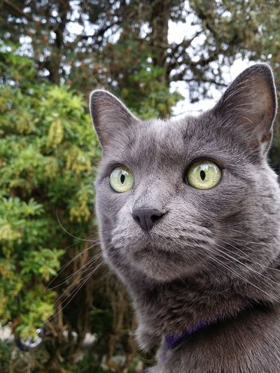 Grey cat's eyes Pets Portrait Feline Looking At Camera Domestic Cat Whisker Close-up