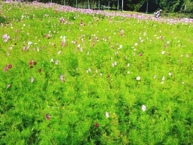 Cosmos Pink Flowers Enjoying Life