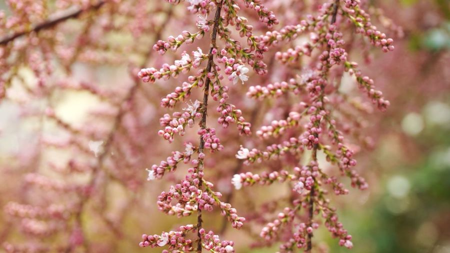 Flowering Plant Flower Plant Freshness Growth Fragility Pink Color Tree Blossom Vulnerability  Springtime Selective Focus Branch Close-up Focus On Foreground Nature Botany No People Day Beauty In Nature
