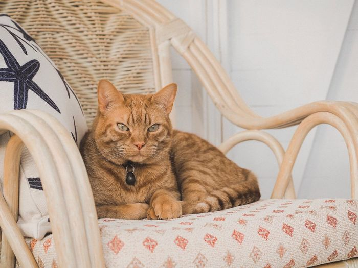 Ginger cat looking forward Cat Feline Pets Domestic Cat Animal Domestic Mammal Animal Themes Domestic Animals Vertebrate Furniture Indoors  Relaxation Bed One Animal No People Sitting Looking At Camera Portrait Textile