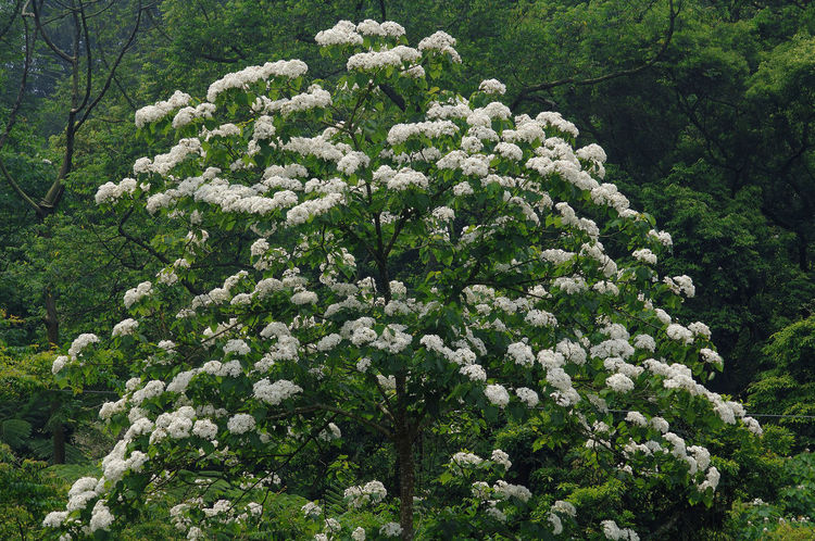 The flowers in the season are fresh and beautiful Beautiful Bright Especially Plant Beauty In Nature Blossom Botany Day Flower Flower Head Fragility Fresh Freshness Growth Nature No People Outdoors Shading  Spring Tree Tung Blossom White Flowers