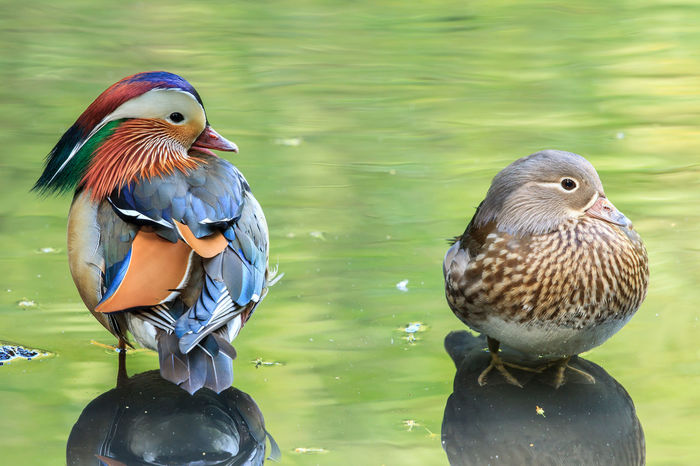 A pair of Mandarin ducks against green water. I captured this pair of Mandarin ducks at the crack of dawn in the water reflecting the vegetation around it. The mandarin duck is a perching duck species found in East Asia. It is medium-sized, at 41–49 cm long with a 65–75 cm wingspan. It is closely related to the North American wood duck, the only other member of the genus Aix. Aix Galericulata Animal Animal Photography Animal Themes Animal Wildlife Animals Animals In The Wild Beauty Beauty In Nature Bird Bird Photography Birds Colours Of Nature Duck Green Water Lake Male And Female Male And Female Ducks Male And Female Mandarin Ducks Mandarin Duck Natural Beauty Nature Nature Photography Pair Water