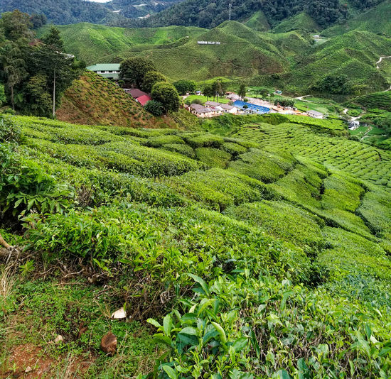 Agriculture Beauty In Nature Crop  Environment Farm Field Green Color Growth Land Landscape Mountain Nature No People Outdoors Plant Plantation Rural Scene Scenics - Nature Tea Crop Tranquil Scene Tranquility Tree