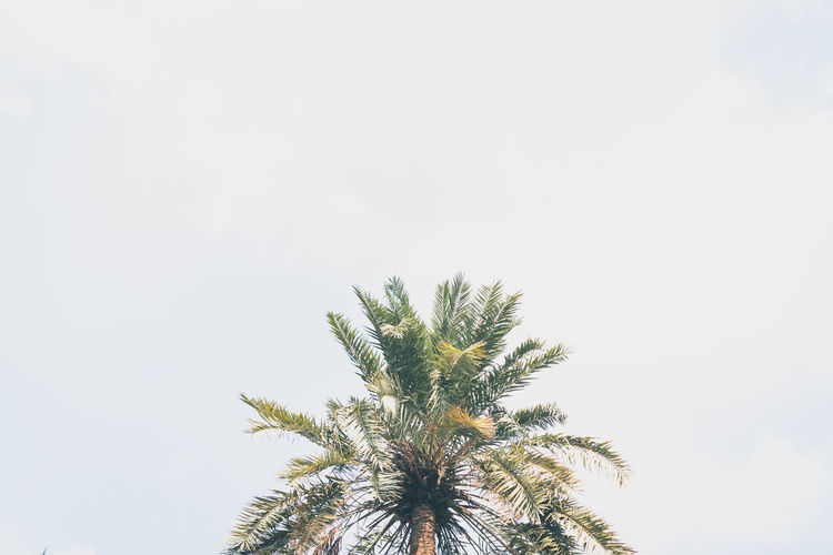 Palm Tree Bahrain Sky Plant Tree Tropical Climate Growth Day Clear Sky No People Scenics - Nature Tranquil Scene Low Angle View Tranquility Nature Beauty In Nature Date Palm Tree Leaf Copy Space Outdoors Treetop Coconut Palm Tree Palm Leaf